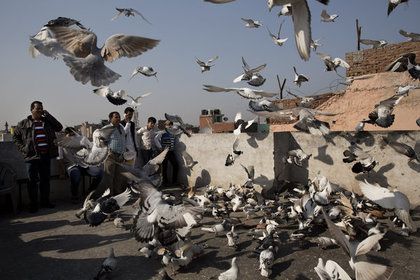 ВИндии 150 голубей задержали зашпионаж