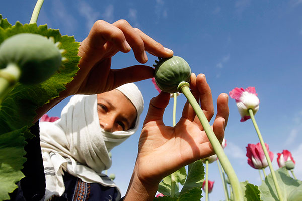 A boy works at a poppy field in Jalalabad province