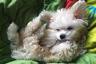 Критики дизайнерских собак заявляют, что их разводят исключительно из финансовых соображений. Действительно, покупка представителя такой породы, как правило, недешевое удовольствие, и разводить их выгодно.
