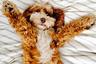 Первой в мире дизайнерской породой стали лабрадудели. Их вывели в Австралии в 1988 году. Заводчик Уолли Кочран из общества собак-поводырей The Royal Guide Dogs получил запрос на пса-помощника от слепой женщины с Гавайев. Животное было нужно такое, чтобы не провоцировало приступы у ее мужа-аллергика. Кочран решил скрестить одного из своих лабрадоров-ретриверов с обычным пуделем. Чистокровный лабрадор не устроил бы аллергика. Шерсть пуделя же гипоаллергенна, но эта порода не обладает обучаемостью, нужной для животного-поводыря. Так появился на свет лабрадудель, соединив в себе лучшие качества своих родителей: дружелюбность, ум и преданность лабрадора с «правильной» шерстью пуделя.