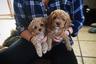 По данным британских ветеринарных практик White Cross Vets, в 2006 году были известны 115 смешанных пород собак, а к 2017 году число их выросло до 886.