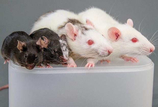 Слева направо: обычная мышь, мышь с клетками крысы, крыса с клетками мыши, обычная крыса