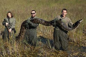 Биологи демонстрируют темного тигрового питона длиной 4,5 метра, пойманного в 2009 году в районе города Хомстед, штат Флорида