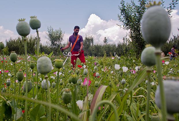 Уничтожение нелегальных плантаций опийного мака в Кашмире
