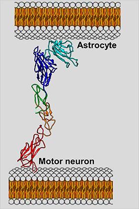 EphA4 опосредует взаимодействие между моторными нейронами и астроцитами, которое, по мнению авторов работы, является одной из причин быстрой гибели первых.