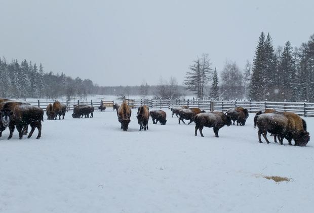 Всех якутских бизонов сейчас 175