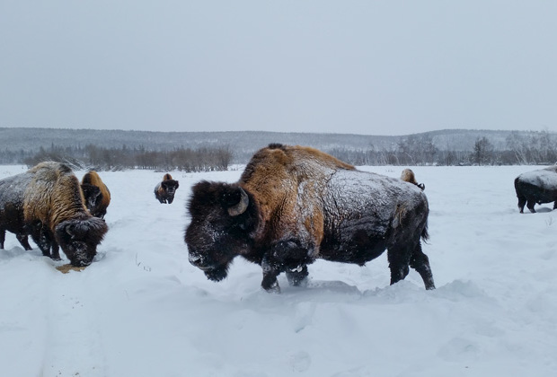 Хомяк — один из старожилов бизонария, тонна с лишним веса