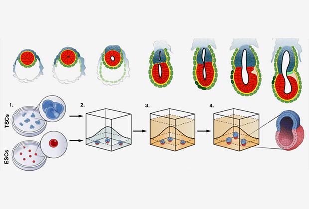 Ученые впервый раз создали искусственный эмбрион мыши изстволовых клеток