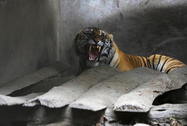 Большинство бенгальских тигров живет в заповеднике Читван