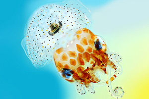 Hawaiian bobtail squid