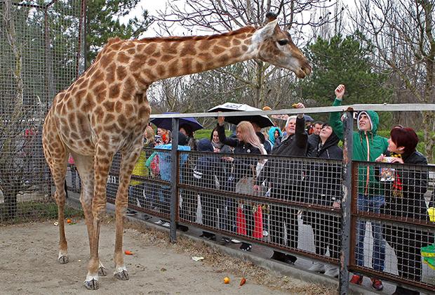 Посетители у вольера с жирафом.