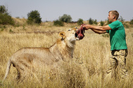 Владелец парка львов «Тайган» Олег Зубков кормит льва