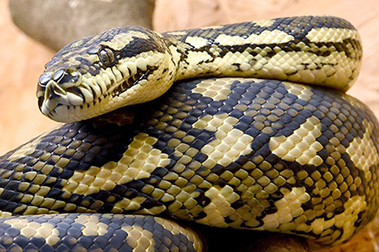 Происшествия в тайланде мужчину заглотила змея