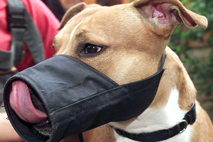 Бойцовская собака загрызла хозяина на глазах у журналистов