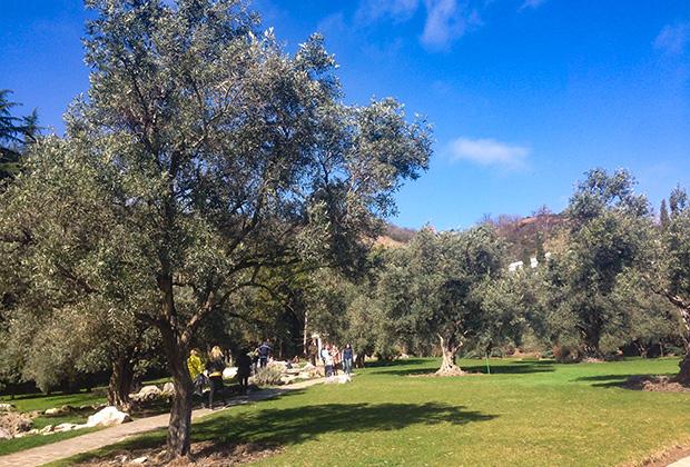 Оливы на Южном берегу Крыма в парке «Айвазовское»