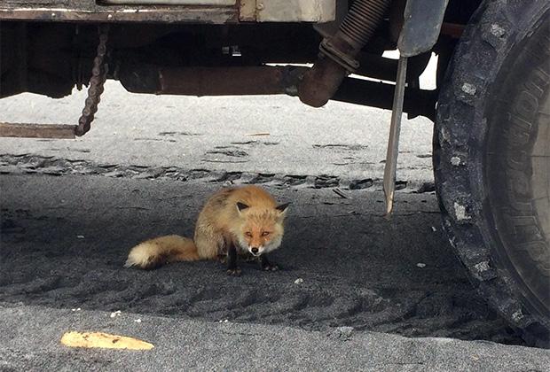 Дикие лисы кажутся почти ручными и охотно едят с рук, но могут заразить бешенством