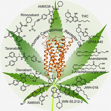 Действия марихуаны марихуана перевод на цветение