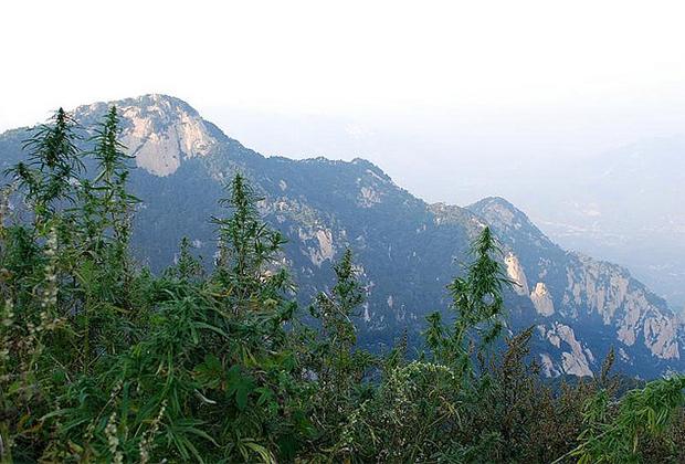Дикорастущий каннабис в провинции Шаньдун
