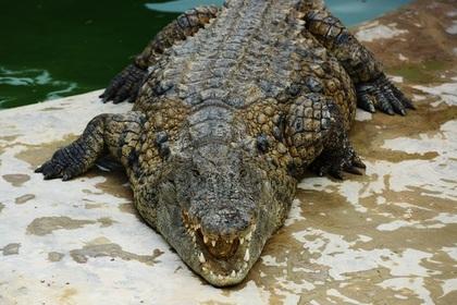 Секс крокодилов видео