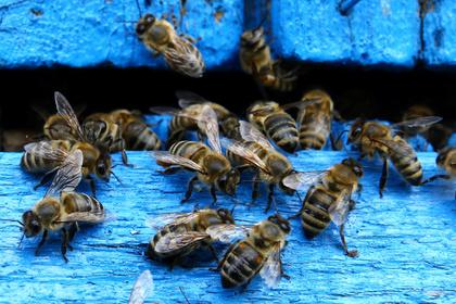 В США уничтожили сотни тысяч привезенных из России пчел