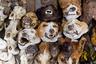 С помощью собачьих голов колдуны вуду лечат самые разные заболевания: от болей в спине и геморроя до малярии.