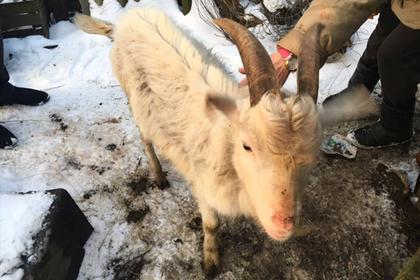 Россиянин украл козла в подарок бабушке возлюбленной