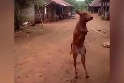 Двуногий теленок научился ходить по-человечески