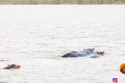 Стадо бегемотов прогнало тупорылую акулу