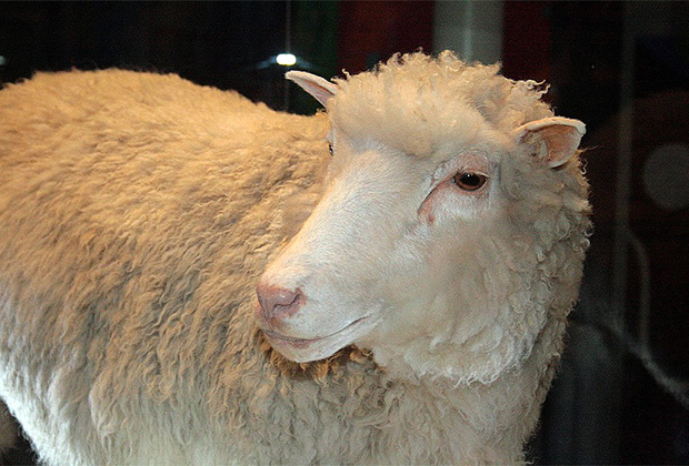 Чучело овечки Долли