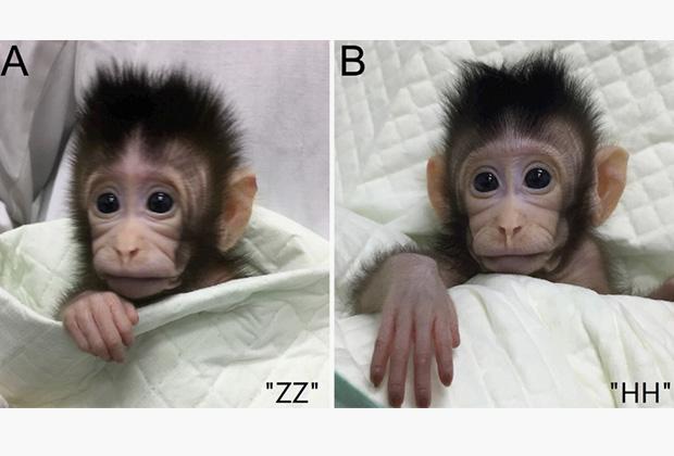 Полученные клоны обезьян