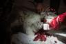 Во время забоя животное дергается в судорогах, однако не издает ни звука. Некоторые оленеводы пьют кровь оленей, поскольку она богата железом и белком. Из крови делают и блины: ее смешивают с мукой и поджаривают на сковороде.