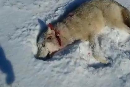 """Казахский волк """"восстал из мертвых"""" и отомстил охотнику"""