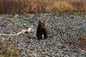 На севере острова был зафиксирован первый в истории Кунашира случай людоедства: голодный медведь атаковал, убил и съел смотрителя маяка в непосредственной близости от его жилища.