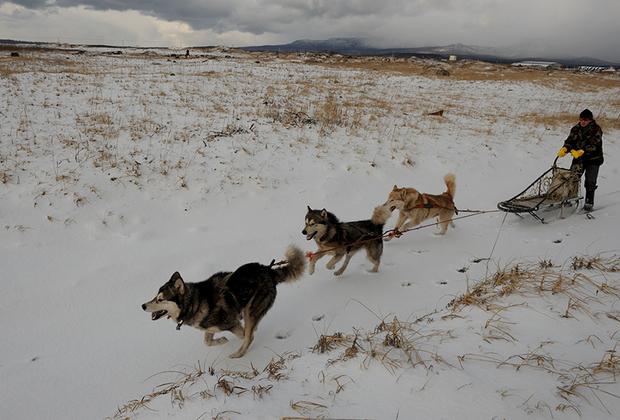 Курильский энтузиаст и любитель собак Георгий Кулинский на своей собачьей упряжке — единственной на Южных Курилах. Активность Кулинского поражает: летом на самодельной тележке, зимой на самодельных нартах он путешествует по острову в поисках новых впечатлений. Гости острова — российские и японские туристы — тоже не прочь прокатиться на собаках Кулинского.
