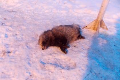 Украинцы обезвредили енота-агрессора из России