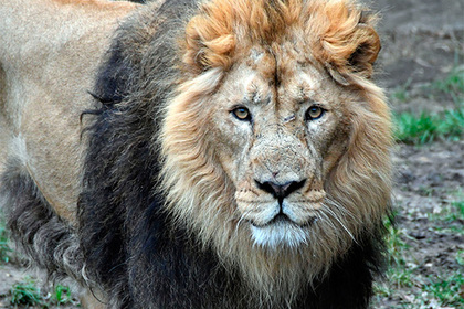 Голодные львы оставили от браконьера только голову и потроха