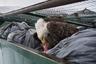 Лысый орел пирует в мусорном контейнере супермаркета на Аляске.