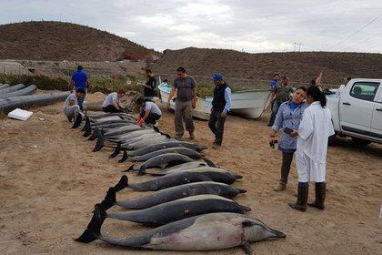 Дельфины подтолкнули маленьких сородичей к массовому суициду