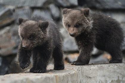 Российские медвежата удивили ученых живучестью и патриотизмом
