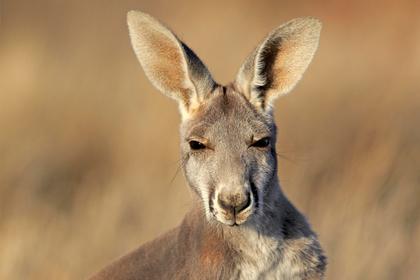 Встреча охотника с кенгуру закончилась сломанной челюстью