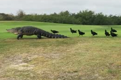 Знаменитый аллигатор длиной 4,5 метра выполз к людям и попал на видео