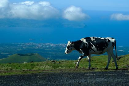 Решительная корова спаслась от бойни и уплыла на остров