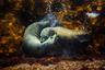 Лучшим снимком живой природы, по мнению судей, стала работа австралийца Филиппа Терстона: он запечатлел интимный эпизод из жизни морских котиков.