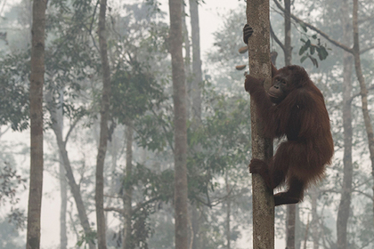 Индонезийские живодеры выпустили в орангутана 130 пуль