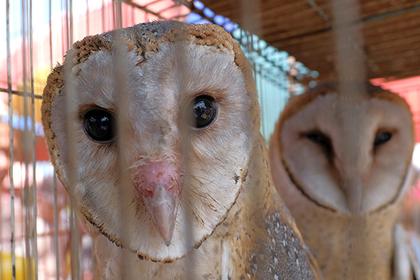 Британца оштрафовали за продажу шаманам совиных голов