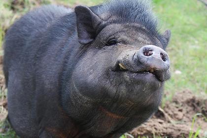 Свиньи съели украинца