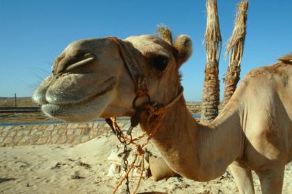 Коловших верблюдам ботокс владельцев оштрафовали