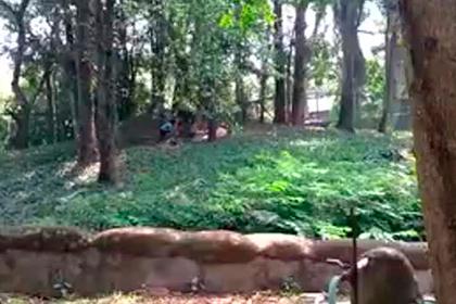 Спасение посетителя зоопарка из вольера со львом сняли на видео