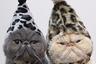 Одну из кошек зовут Мамбо, другую— Танго. Они живут в Японии и всегда ужасно недовольны. Сварливое выражение не сходит с мордочек всех кошек этой породы, но у Мамбо и Танго для него есть повод: хозяин обожает наряжать их в нелепые костюмы и фотографировать для Instagram. Кому такое понравится? Глупые шапки— еще не худший вариант. «По крайней мере, они греют, верно?»— комментирует автор фотографии.