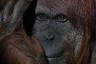 Фотографические и научные исследования группы орангутангов нацелены на демонстрацию индивидуальности каждого примата, а также их четкого осознания себя.  <br> <br> Очевидно, что это разумное существо смотрит прицельно на нас через объектив. Орангутанги как физически, так и психологически оказались очень похожими на людей. Снимки из Международного центра орангутангов в Индианаполисе участвуют в профессиональной части конкурса в категории «Флора и фауна».